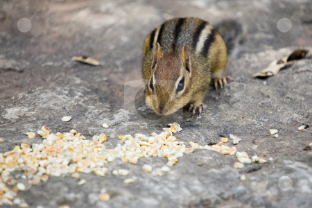 Feast for a Chipmunk stock photo, A baby chipmunk sitting on a slab of rock, about to gorge himself on a pile of dried corn, by Kevin Woodrow