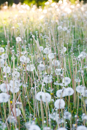 Pretty Weeds stock photo, A lawn full of weeds. by Kevin Woodrow