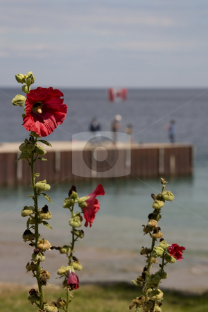 Hollyhocks overlooking pier stock photo, A number of Holyhock chutes in focus in the foreground, with a long peer running into the water in the background. by Kevin Woodrow