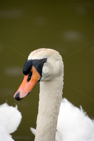 Swan head stock photo, A closeup of a white swan head. by Kevin Woodrow