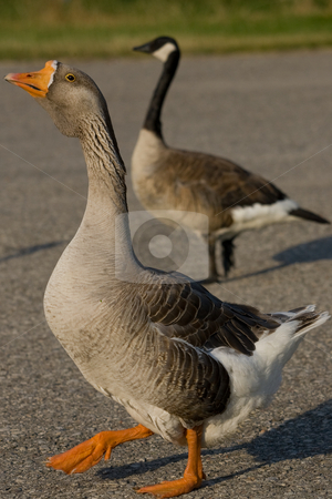 Farm Goose up close stock photo, A closeup of a farm goose with a Canada Goose in the background. by Kevin Woodrow