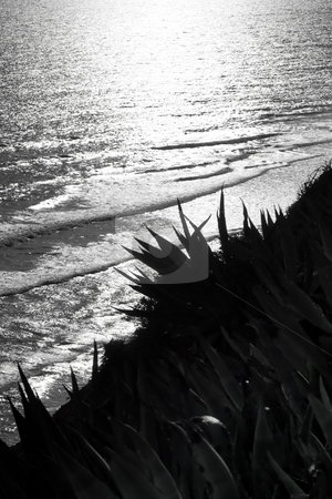 Aloe plants overlooking ocean - Black and White stock photo, Spiked aloe plants overlooking a setting sun against the ocean waves.  Black and White. by Kevin Woodrow