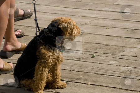 Dog sitting patiently. stock photo, A dog sitting patiently on a deck, it's owner's feet and lower leg visible. by Kevin Woodrow