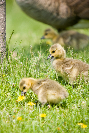 Chicks looking for food stock photo, 2 Canada Goose chicks eating grass in the foreground, with another and their mother in the background. by Kevin Woodrow