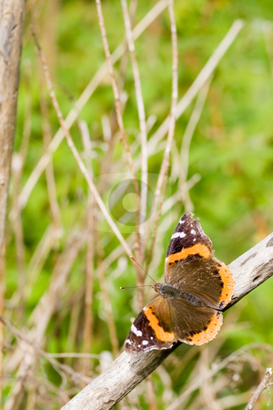 Butterfly Pose-off stock photo, A butterfly posing on a dried tree-branch. by Kevin Woodrow