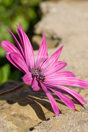 Silky smooth Daisy stock photo, A vertical composition of a purple sunscape daisy focused in the left of the frame, with rock texture background. by Kevin Woodrow