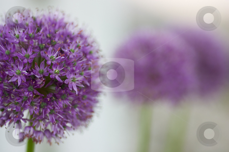 Allium lineup stock photo, An Allium flower, also known as the 'Gladiator', with out of focus flowers in the background. by Kevin Woodrow