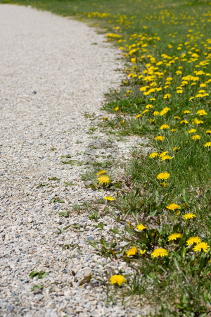Along the gravel path stock photo, Following a gravel path, lined with green grass and dandelions. by Kevin Woodrow