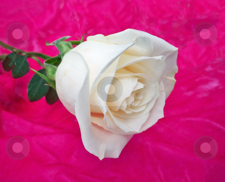 One White Rose stock photo, A single white rose against a pink velvet background, represents feminine purity by Sandra Fann