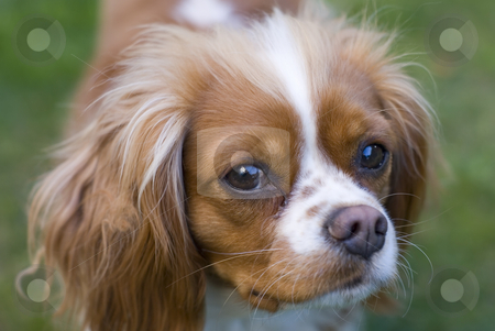 Cavalier King Charles stock photo, Close view of a Cavalier King Charles Spaniel. Origin cuntry  :  England by Serge VILLA