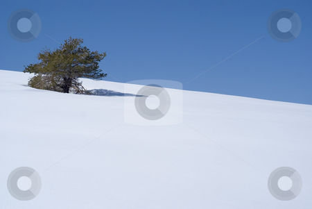 Alone stock photo, One Pin tree on a hil of snow. South Alps, french riviera. by Serge VILLA