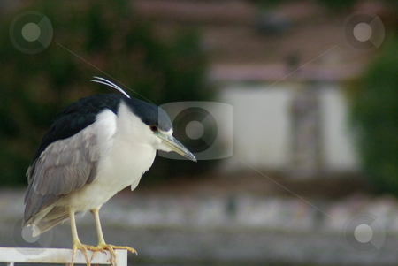 Black crowned night heron stock photo, Hard to get up close to this flighty black capped night heron.  The adult bird shown here resting on a fence was captured with a 70-300mm zoom at full extension and the image was then cropped 50 percent.  This fairly small, stocky, short-legged and short-necked heron grows a white plume during mating season. by Dennis Thomsen