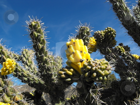 Yellow cactus fruit stock photo, A Whipple Cholla (Opuntia) cactus displays bright yellow fruit against a brilliant blue sky. by Dennis Thomsen