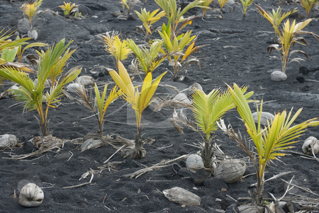 Coconut Plants stock photo, Coconuts sprouting in the dark volcanic soil of Hawaii by Stephen Gibson