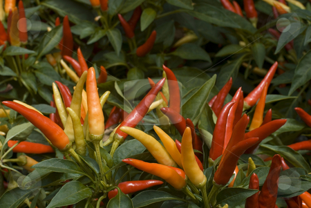 Thai Chilli Pepper Plant stock photo, Ripe and ripening red thai chilli peppers by Stephen Gibson