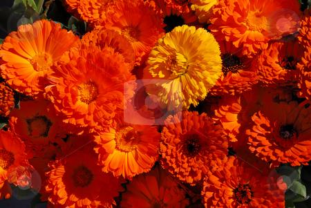 Pot Marigolds - Calendula officinalis stock photo, Orange and yellow pot marigolds or English marigolds in sunlight - calendula officinalis. by Denis Radovanovic