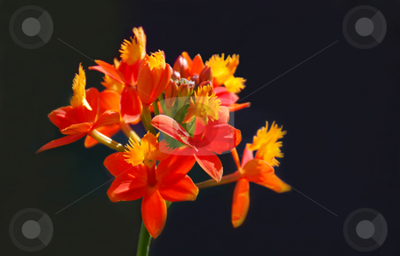 Sunlit Orchid stock photo, Orange and yellow orchid in sunlight with a dark background. by Denis Radovanovic