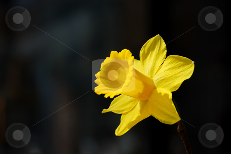 Yellow Daffodil - Narcissus stock photo, Yellow daffodil or narcissus looking at the sun with a dark background. by Denis Radovanovic
