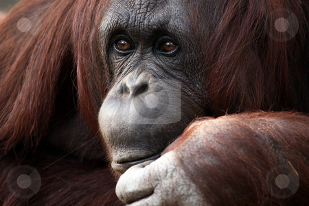 Orangutan stock photo, Closeup of an Orangutan. by Megan Lorenz