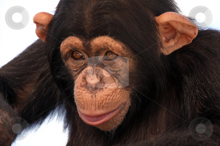 Chimpanzee stock photo, Young Chimpanzee drinking from a plastic cup and isolated on white background. by Megan Lorenz