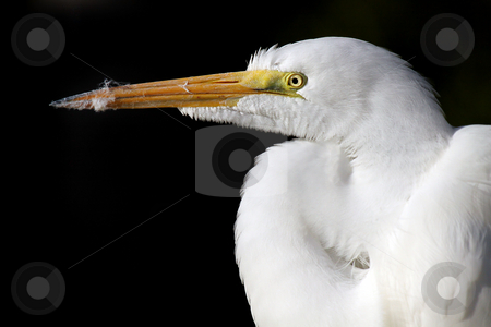 Great Egret stock photo, Closeup of a Great Egret against a black background. by Megan Lorenz