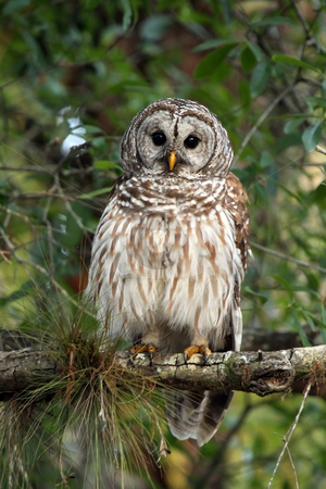 Barred Owl stock photo, Closeup of a Barred Owl perching in a tree and staring at the camera. by Megan Lorenz