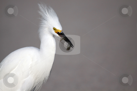 Snowy Egret stock photo, Closeup of a Snowy Egret with a shrimp in his beak. by Megan Lorenz