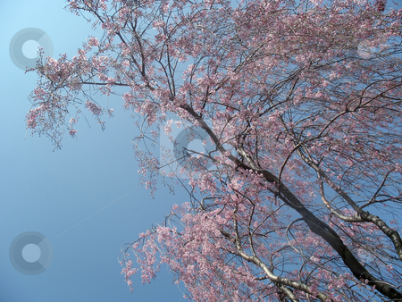 Pink Blossoms stock photo, Huge tree shot from below covered in pink blossoms and framed against a blue sky by Orange Line Media