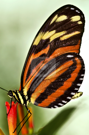 Large tiger butterfly stock photo, Large tiger butterfly sitting on a flower by Elena Elisseeva