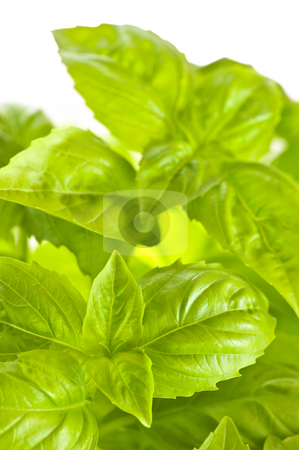 Green basil close up stock photo, Fresh green basil close up isolated on white background by Elena Elisseeva