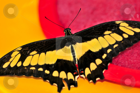 Giant swallowtail butterfly stock photo, Giant swallowtail butterfly with open wings and yellow markings by Elena Elisseeva