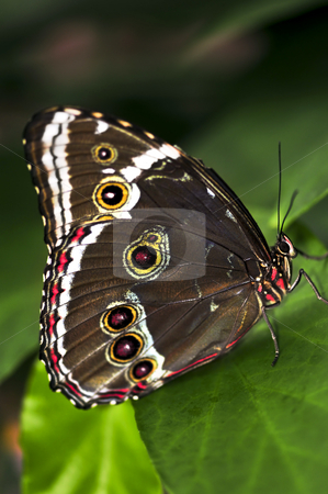 Butterfly on a plant stock photo, Beautiful blue morpho butterfly sitting on a plant by Elena Elisseeva