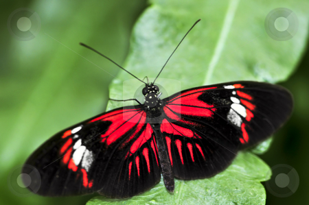 Red heliconius dora butterfly stock photo, Red heliconius dora butterfly on a leaf by Elena Elisseeva