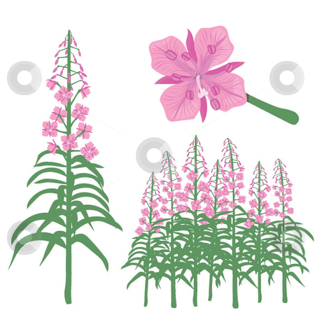 Fireweed stock vector clipart, Botanical illustration of a fireweed in single, group and flowerhead. by Maggie Bates