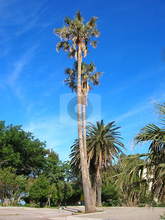Palms over blue sky stock photo, High palms on seashore of adriatic sea in Montenegro by Julija Sapic
