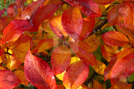 Wet autumn leaves stock photo, Closeup of dew-covered autumn leaves in the early-morning light by Alistair Scott