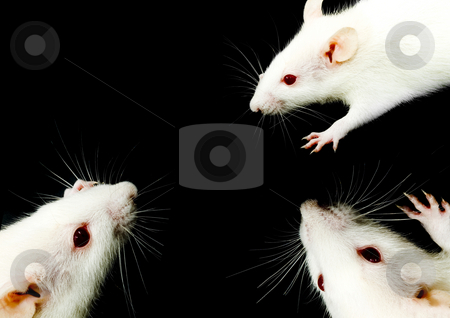 White Rat Trio stock photo, A close-up photo of three white rats meeting by Petr Koudelka