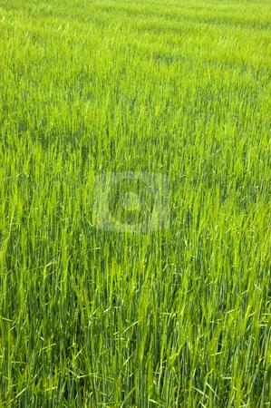 Lush Green Field stock photo, Lush green field of long grass by Peter Cox