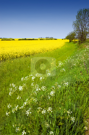 Colourful Rural Landscape stock photo, Rural english landscape of golden yellow rapeseed and cow parsley in a green field on farmland by Peter Cox