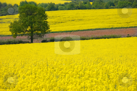 Golden Yellow Rural Landscape stock photo, Looking over a rural landscape of golden yellow fields of rapeseed to a single tree by Peter Cox
