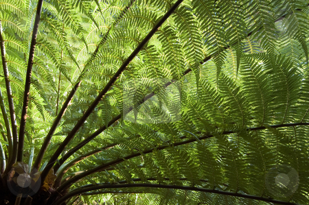 Tree Fern stock photo, Large Tree Fern shot from under the tree and into the light, the leaves or fronds backlit by the sun by Peter Cox