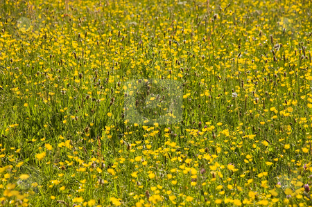 Summer meadow of Buttercups stock photo, Summer meadow of yellow buttercups and wild flowers by Peter Cox