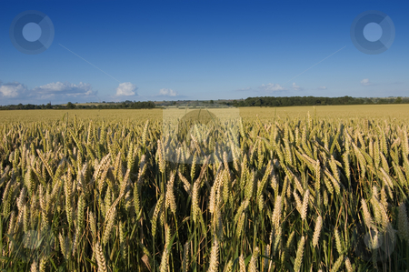 Rural Landscape stock photo, Looking over a golden field of wheat by Peter Cox