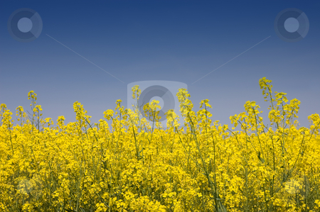 Golden Yellow Rapeseed stock photo, Close-up view of golden yellow rapeseed against a blue sky by Peter Cox