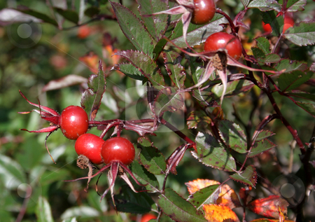 Wild Cranberries stock photo, Wild cranberries on a cranberry bush. by Chris Hill