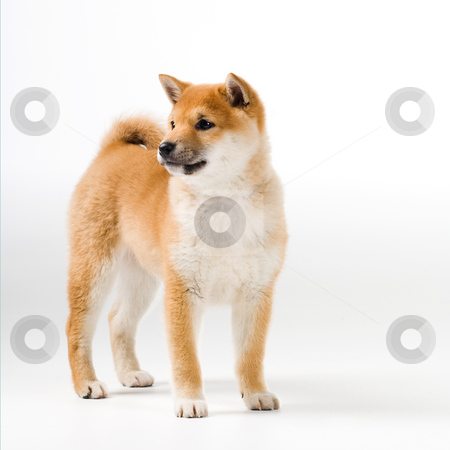 Aiko stock photo, Cute Shiba Iny puppy on white background by Tommy Maenhout