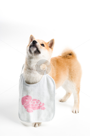 Aiko stock photo, Cute Shiba Inu puppy ready for dinner by Tommy Maenhout