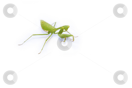 Bright Green Manits on white stock photo, Bright Green African praying Mantis isolated on a white background by Chris Alleaume