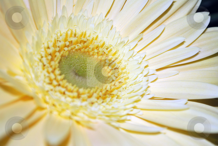 White Flower stock photo, A close up of a white flower on black background by Tudor Antonel adrian