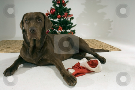 Brown Dog and Christmas Tree stock photo, Brown dog sitting in front of a christmas tree. by Orange Line Media